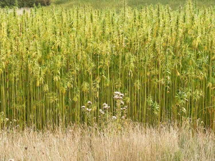 hemp industrial crop or dangerous drug In the long term, industrial hemp could become a source of steady,  oklahoma  bureau of narcotics and dangerous drugs spokesman mark.